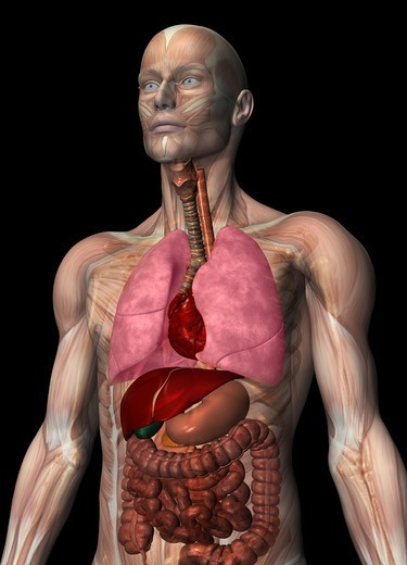 Stock Photo: 4297R-1957 Anatomical illustration of the human body showing the major organs