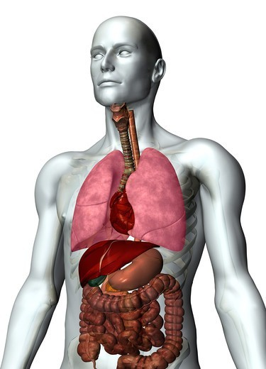 Stock Photo: 4297R-1958 Anatomical illustration of the human body showing the major organs