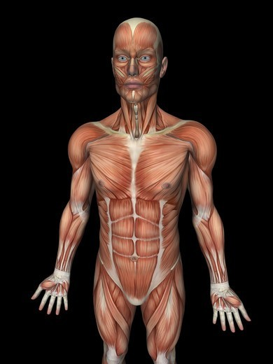 Stock Photo: 4297R-1963 Anatomical illustration of the human body showing the superficial muscles