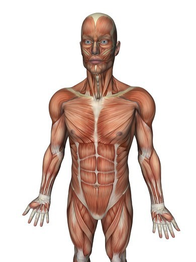 Anatomical illustration of the human body showing the superficial muscles : Stock Photo