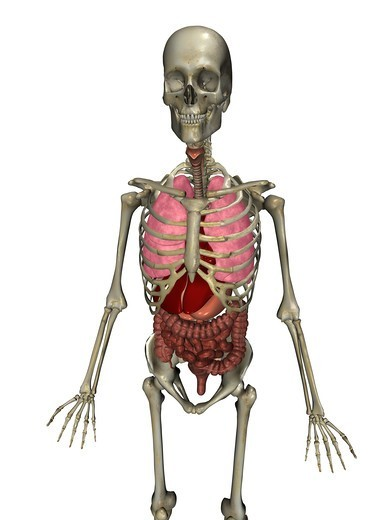 Stock Photo: 4297R-1967 Anatomical illustration of the human body showing the major organs