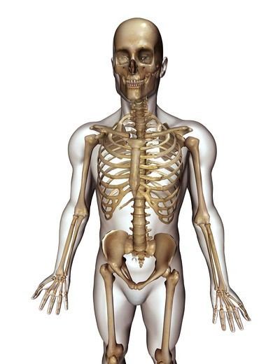 Anatomical illustration of the human body showing the skeleton : Stock Photo