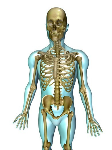 Anatomical illustration of the human body showing the human skeleton : Stock Photo
