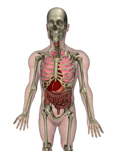 Anatomical illustration of the human body showing the major organs : Stock Photo