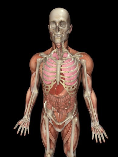 Stock Photo: 4297R-1972 Anatomical illustration of the human body showing organs