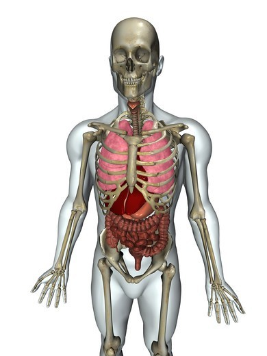 Stock Photo: 4297R-1973 Anatomical illustration of the human body showing organs
