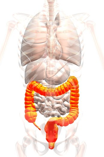 Stock Photo: 4297R-1974 Anatomical illustration showing the appendix, cecum and colon