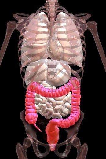 Stock Photo: 4297R-1980 Anatomical illustration showing the appendix, cecum and colon highlighted in color