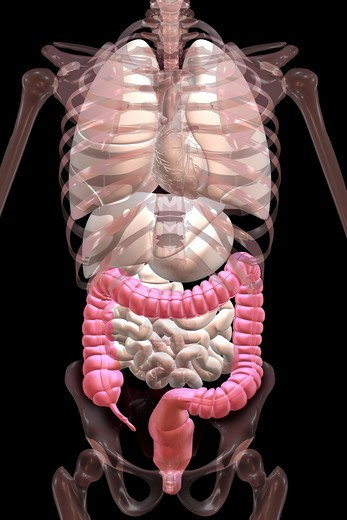 Stock Photo: 4297R-1981 Anatomical illustration showing the appendix, cecum and colon highlighted in color