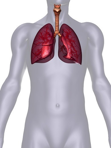 Stock Photo: 4297R-1984 Anatomical illustration of the human body showing the lungs