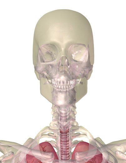 Stock Photo: 4297R-2021 Illustration of a human skull and upper body