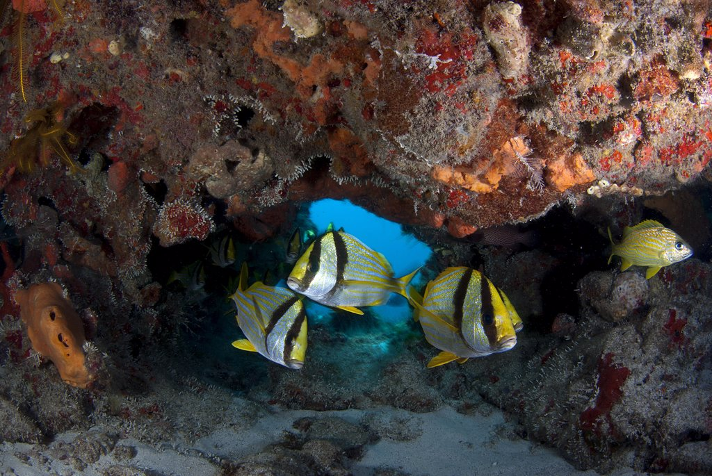 Porkfish (Anisotremus virginicus) schooling arround coral reef, Cancun, Quintana Roo, Yucatan Peninsula, Mexico : Stock Photo