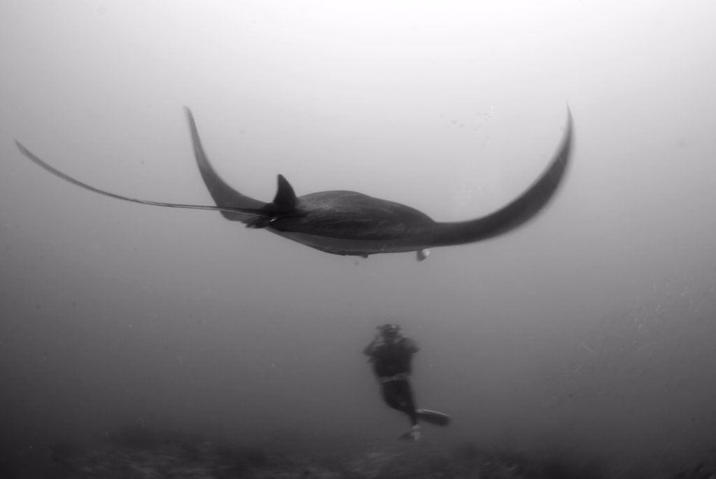 Stock Photo: 4299-1058 Giant Manta ray (Manta birostris) with a scuba diver in underwater, Holbox Island, Quintana Roo, Yucatan Peninsula, Mexico