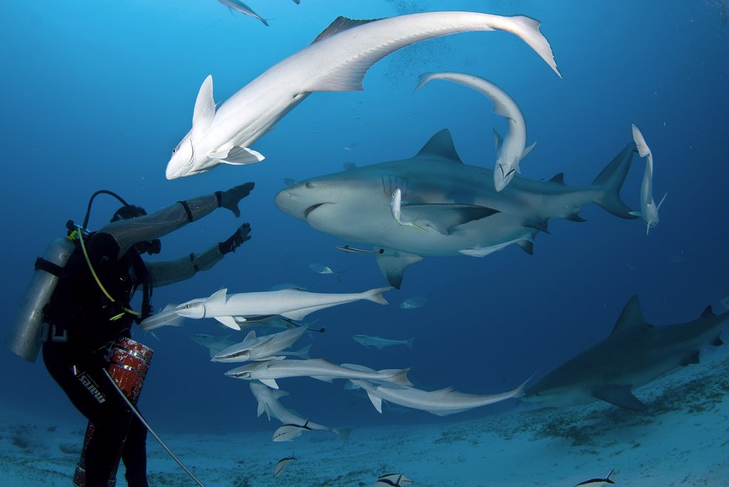Bull sharks (Carcharhinus leucas) being feeding by a scuba diver on their annual migration for reproductive purposes, Playa del Carmen, Riviera Maya, Quintana Roo, Yucatan Peninsula, Mexico : Stock Photo