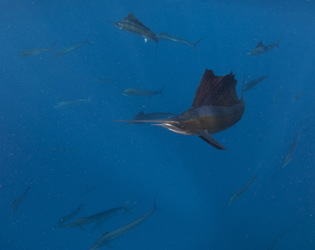 Atlantic sailfish (Istiophorus albicans) hunting on bait ball of sardines, Contoy Island, Isla Mujeres, Quintana Roo, Yucatan Peninsula, Mexico : Stock Photo
