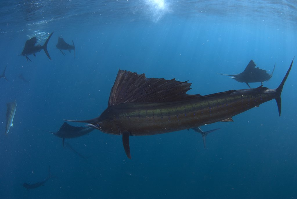 Stock Photo: 4299-1147 Atlantic sailfish (Istiophorus albicans) hunting on bait ball of sardines, Contoy Island, Isla Mujeres, Quintana Roo, Yucatan Peninsula, Mexico
