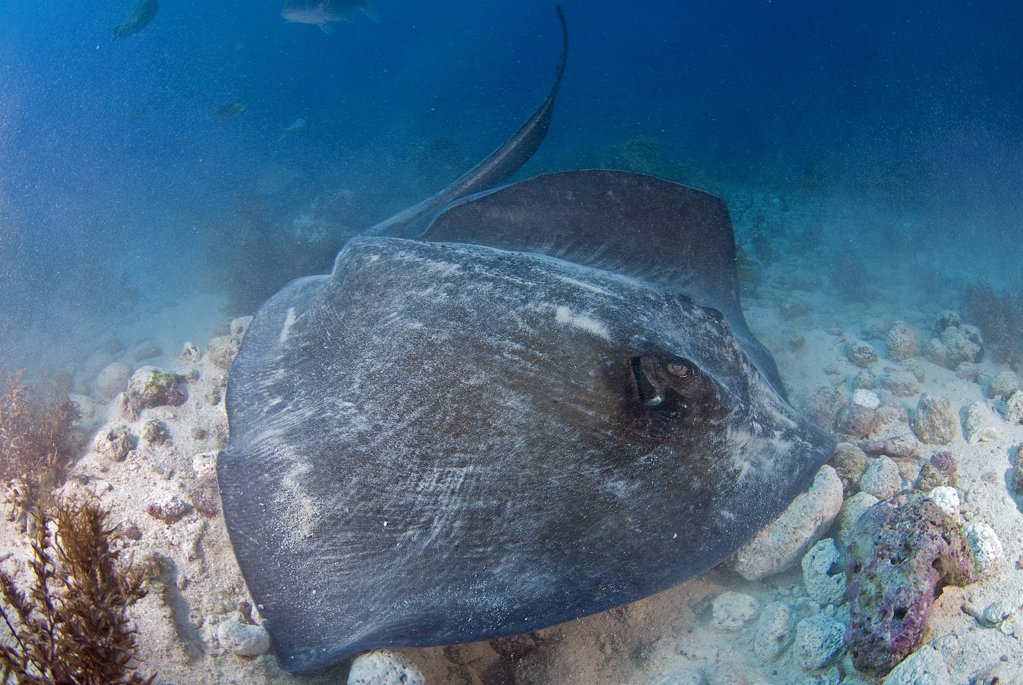 Southern Stingray (Dasyatis americana) hunting his prey under the sand, Cancun, Quintana Roo, Yucatan Peninsula, Mexico : Stock Photo