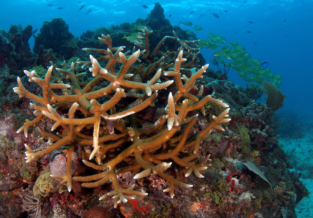 Stock Photo: 4299-1215 Staghorn Corals (Acropora cervicornis) underwater, Yucatan Peninsula, Mexico