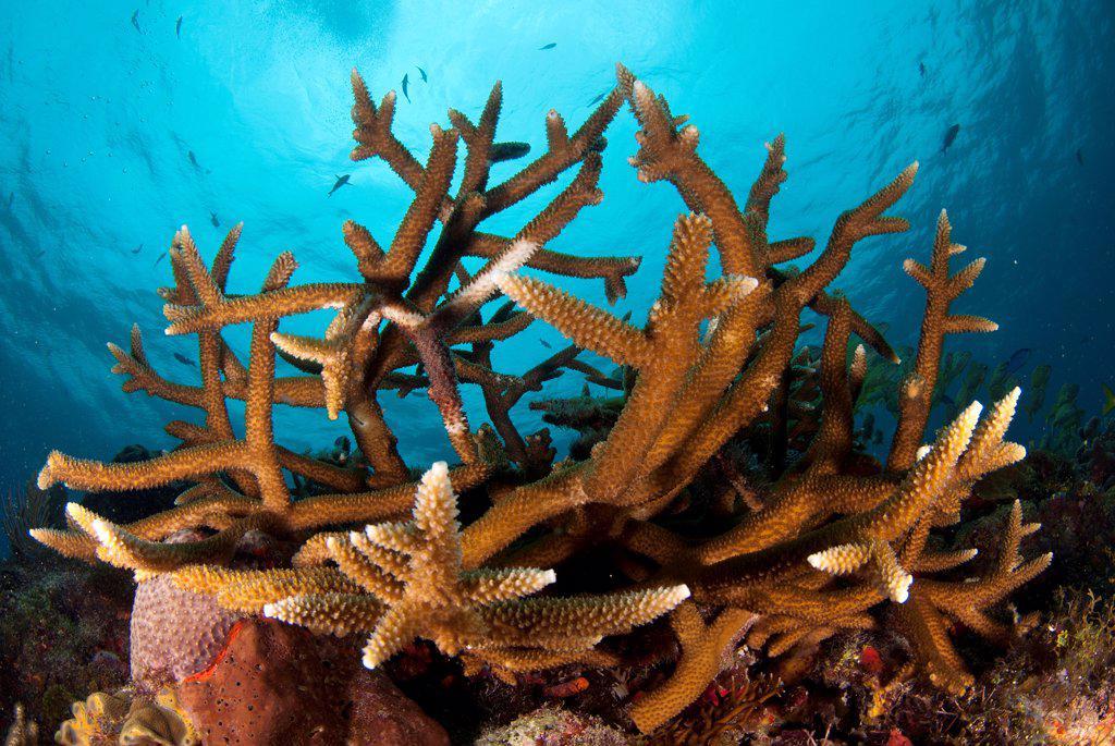 Stock Photo: 4299-1223 Staghorn Corals (Acropora cervicornis) underwater, Yucatan Peninsula, Mexico