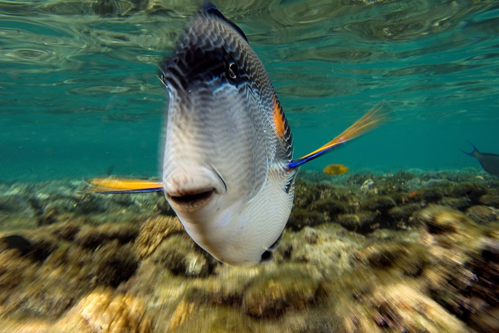 Stock Photo: 4299-1246 Sohal surgeonfish (Acanthurus sohal) Threatening on posture protecting its territory, Sharm El-Sheikh, Sinai Peninsula, South Sinai Governorate, Egypt