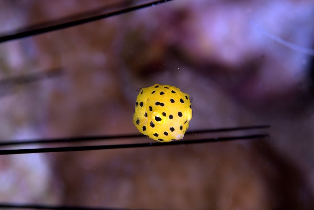 Stock Photo: 4299-1249 Close-up of a Cube Boxfish (Ostracion cubicus),Sharm El-Sheikh, Sinai Peninsula, South Sinai Governorate, Egypt