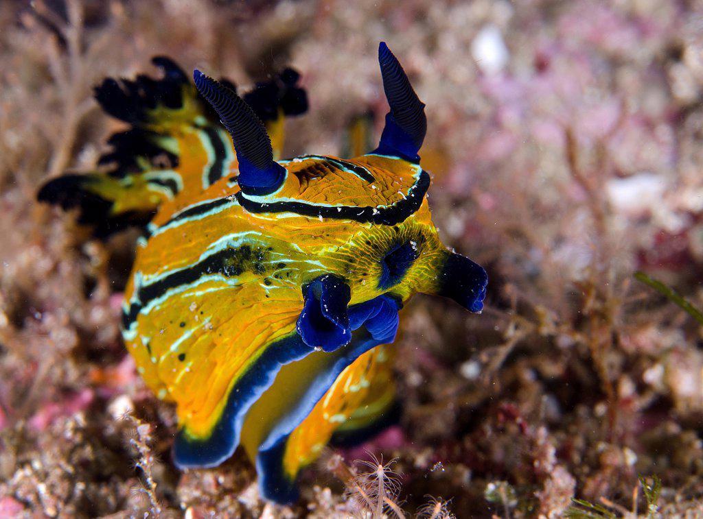 Stock Photo: 4299-1270 Tiger Nudibranch (Notodoris minor) this nudibranch eats other nudibranch species, Sea of Cortez, Baja California, Mexico