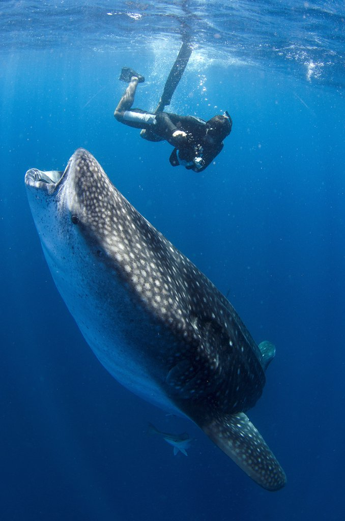 Stock Photo: 4299-1307 Mexico, Isla Mujeres, whale shark (rhincodon typus), wide open mouth while feeding on plankton near surface and snorkeler on the background