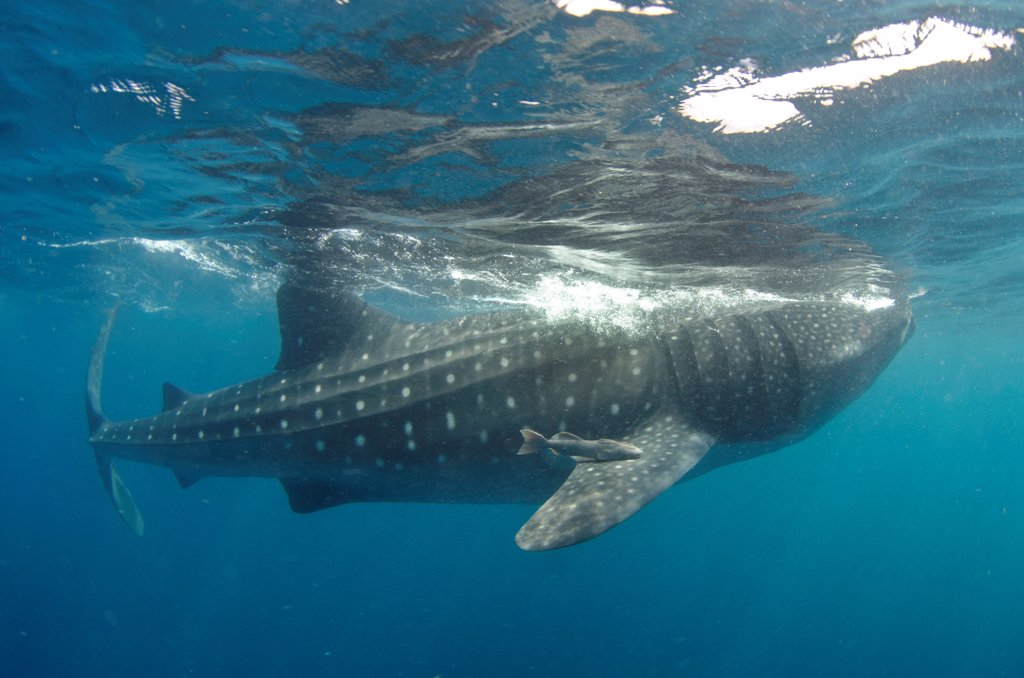Stock Photo: 4299-1376 Mexico, Caribbean sea, Isla Mujeres, Whale shark, rhincodon typus, swimming near surface