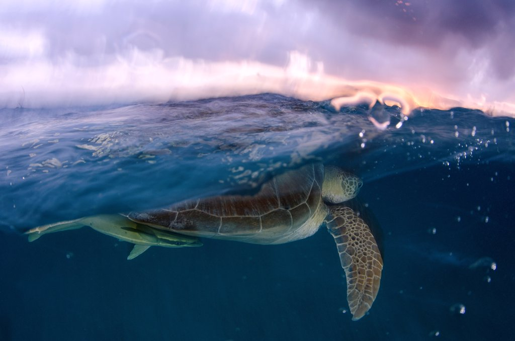 Mexico, Akumal, Green sea turtle (Chelonia mydas) swimming near water surface : Stock Photo