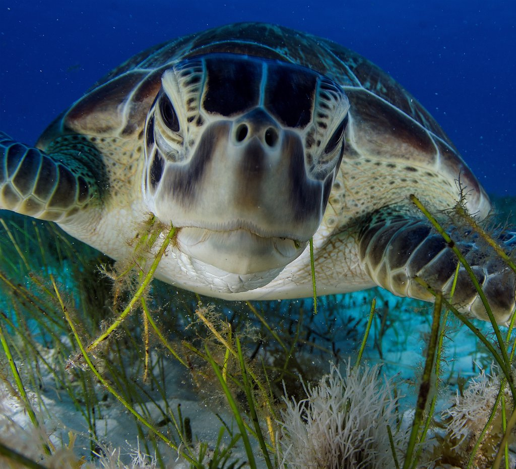 Stock Photo: 4299-1441 Green turtle (Chelonia mydas) feeding on sea grass in Cancun water, Caribbean Sea, Mexico