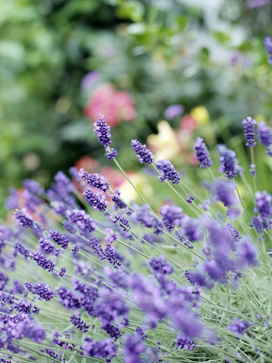 Stock Photo: 4306R-10145 Flowering lavender.