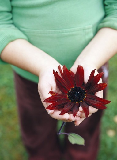 Stock Photo: 4306R-10441 A pair of hands holding a red flower, Sweden.
