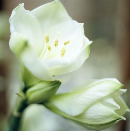 Stock Photo: 4306R-10466 White amaryllis, close-up.
