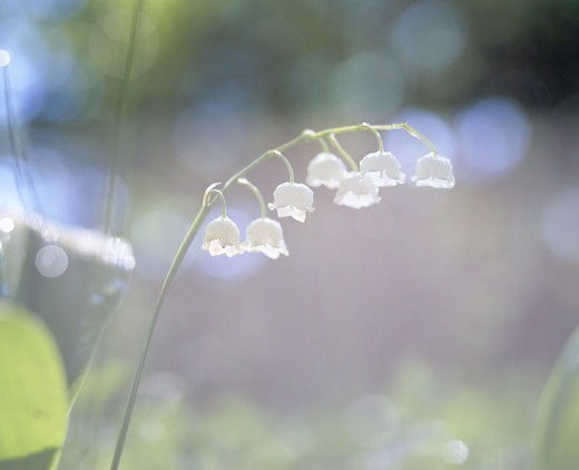 Stock Photo: 4306R-10717 Lily of the valley, close-up, Smaland, Sweden.