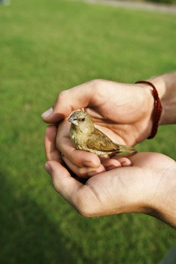 A little bird in a hand. : Stock Photo