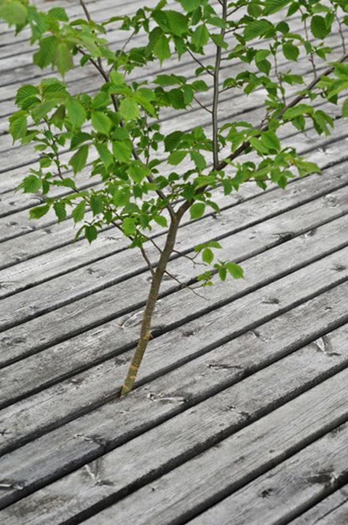 An alder-tree between planks, Sweden. : Stock Photo