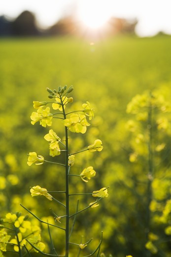 Fields of rape, Skane, Sweden. : Stock Photo