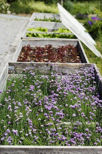 Stock Photo: 4306R-14502 Hotbeds with herbs, Sweden.