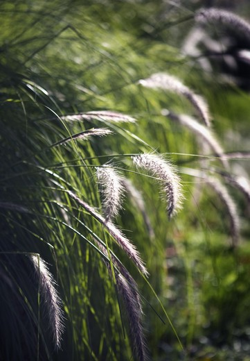 Stock Photo: 4306R-15027 Fountain Grass, Sweden.