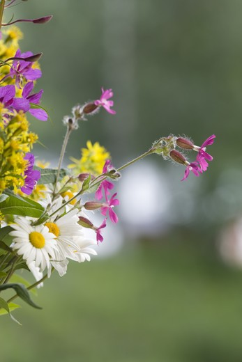Stock Photo: 4306R-19599 Flowers, close-up, Sweden.