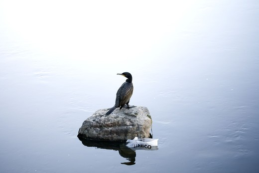 Bird on a stone in calm water, Sweden. : Stock Photo