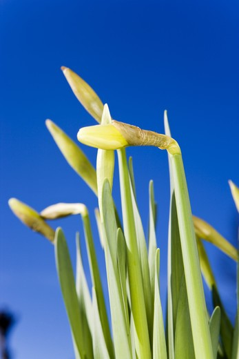 Daffodils against a blue background. : Stock Photo