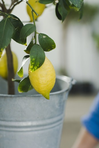 A lemon tree, close-up. : Stock Photo