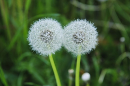 Stock Photo: 4306R-24077 Faded dandelions, close-up, Sweden.