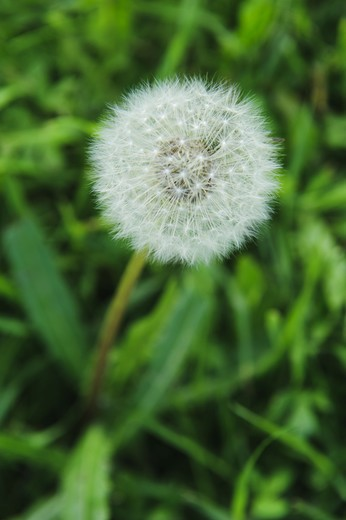 Stock Photo: 4306R-24078 Faded dandelion, close-up, Sweden.