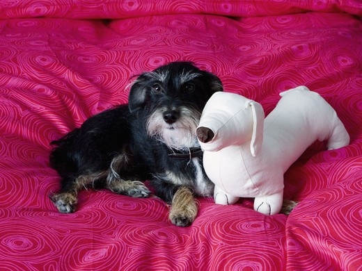 Dachshund with soft toy resting on bed : Stock Photo