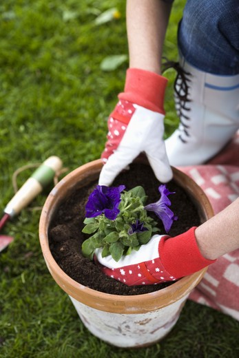 The hands of a woman setting a flower in a pot. : Stock Photo