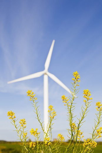 Oilseed rape and wind turbine : Stock Photo
