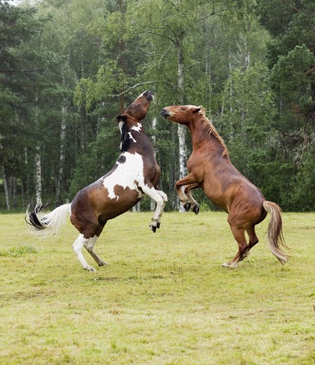 Stock Photo: 4306R-28214 Two horses fighting