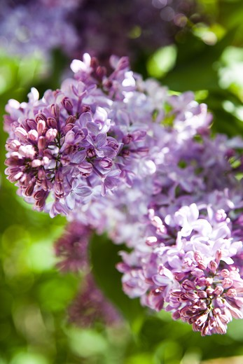 Close-up of lilac : Stock Photo